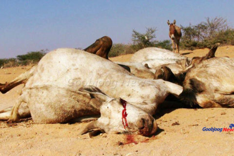 The desperation of a donkey awaiting death as its counterparts ebb out paints the picture of a drought bitterly wiping out life and livelihoods in Las Anod in Sool region. November 27, 2016|Photo: Goobjoog News