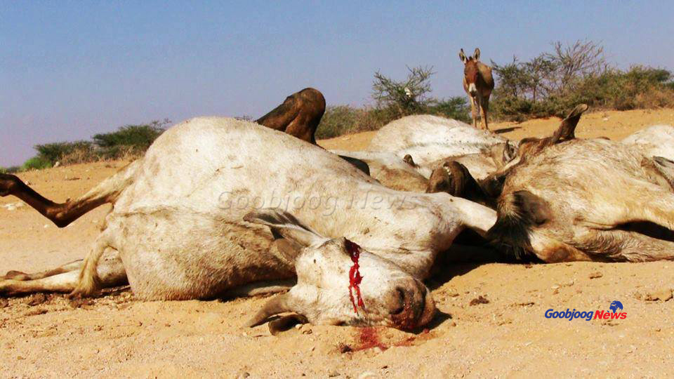 The desperation of a donkey awaiting death as its counterparts ebb out paints the picture of a drought bitterly wiping out life and livelihoods in Las Anod in Sool region. November 27, 2016 Photo: Goobjoog News
