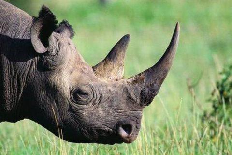 Black rhinos on the brink of extinction