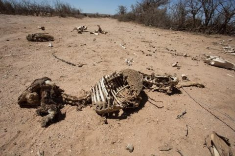 The carcass of a domestic animal that died due to severe drought is seen in Baligubadle village near Hargeisa, the capital city of Somaliland, in this handout picture provided by The International Federation of Red Cross and Red Crescent Societies on March 15, 2017. The International Federation of Red Cross and Red Crescent Societies/Handout via REUTERS.