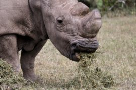 The last surviving male northern white rhino named 'Sudan' grazes at the Ol Pejeta Conservancy in Laikipia national park, Kenya June 14, 2015. REUTERS/Thomas Mukoya/File