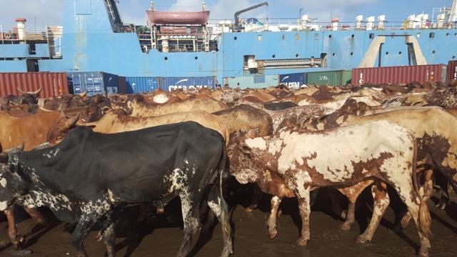 Returned Somali livestock had Rift Valley Fever