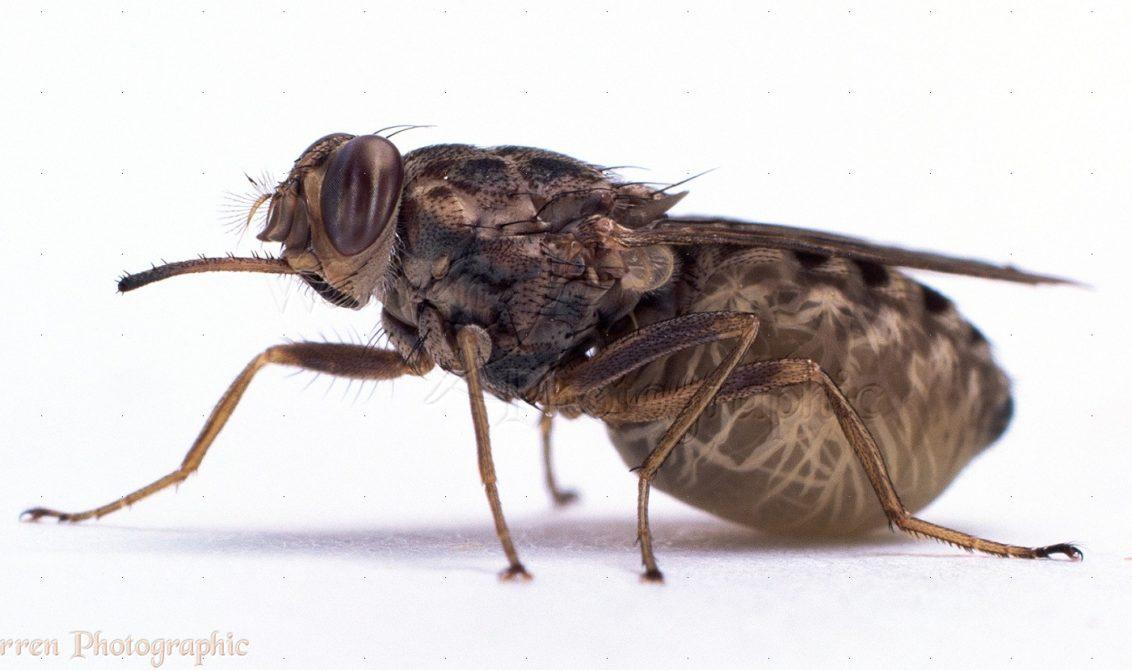 Tsetse Fly (Glossina morsitans) abdomen distended with single larva