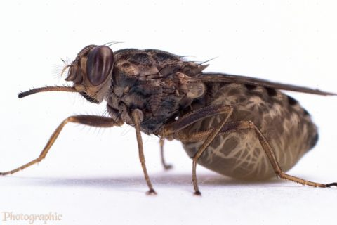 Tsetse Fly (Glossina morsitans) abdomen distended with single larva