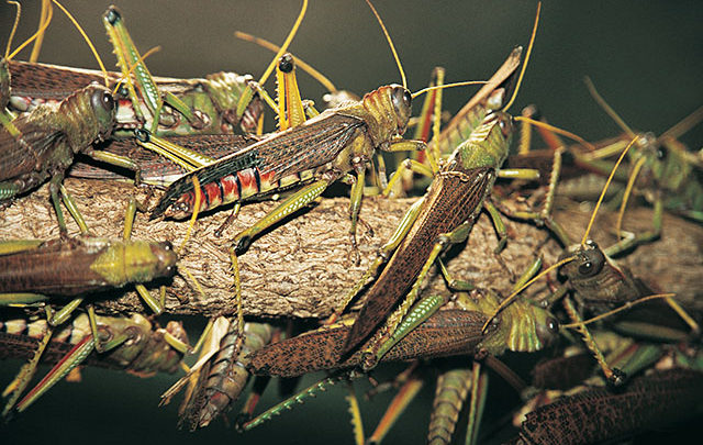 Image result for somali and locusts